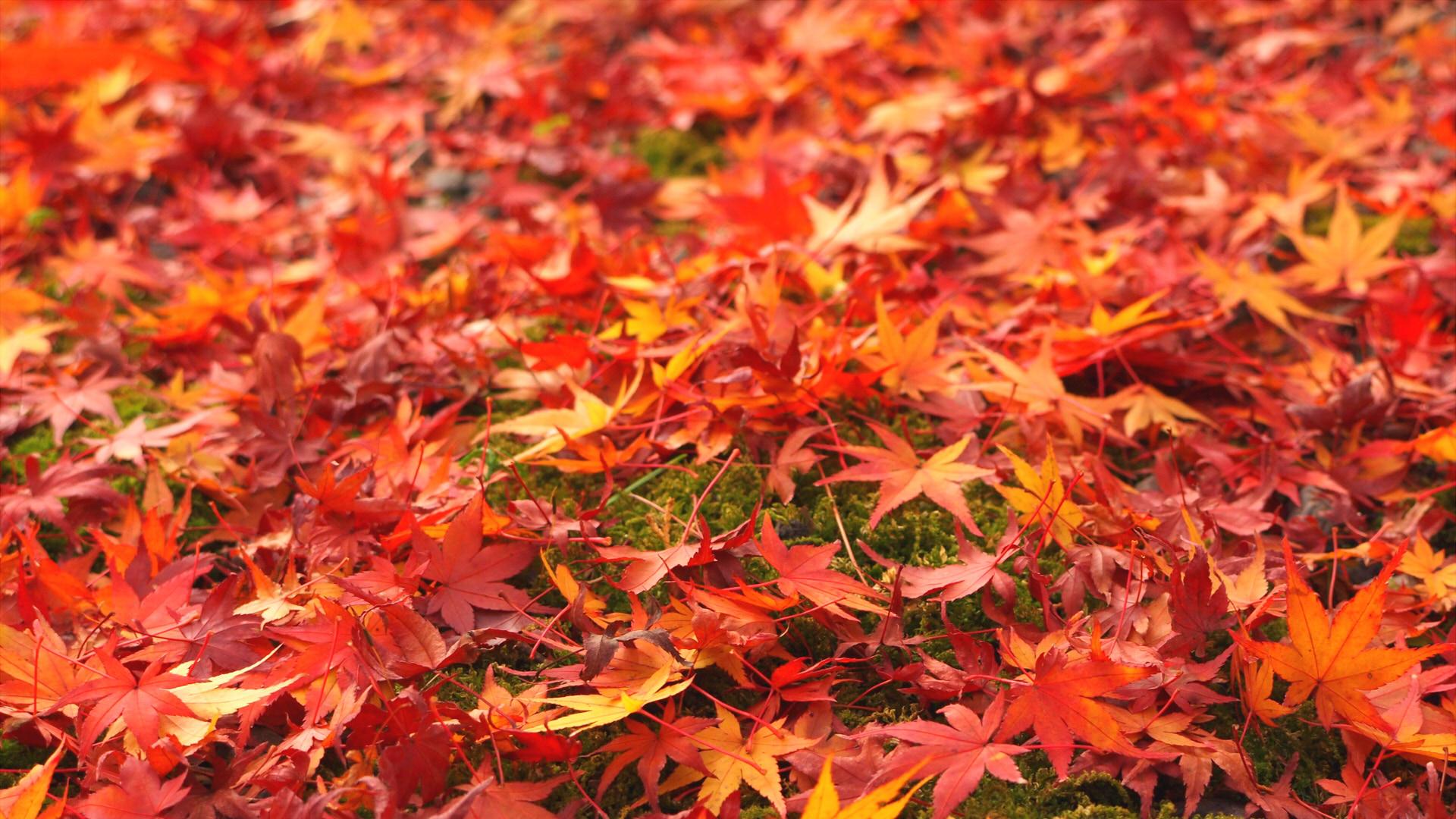 紅葉を楽しむ1