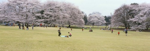 砧公園の桜2