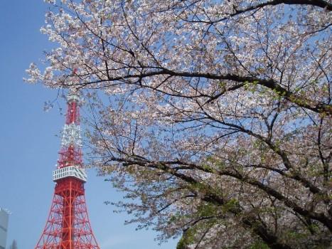 芝公園の桜