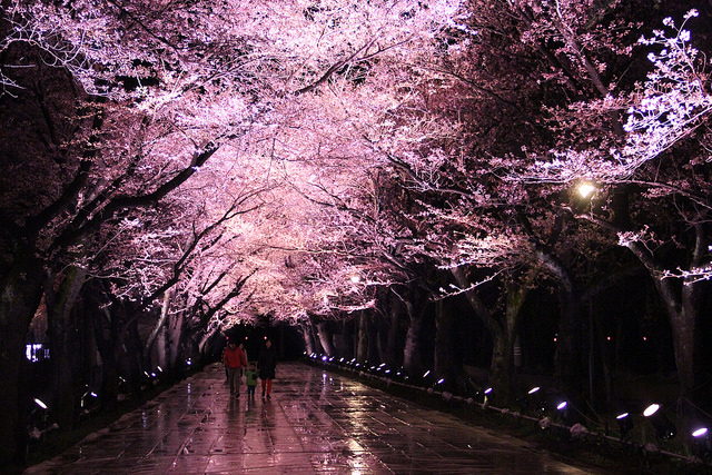 高田公園と夜桜