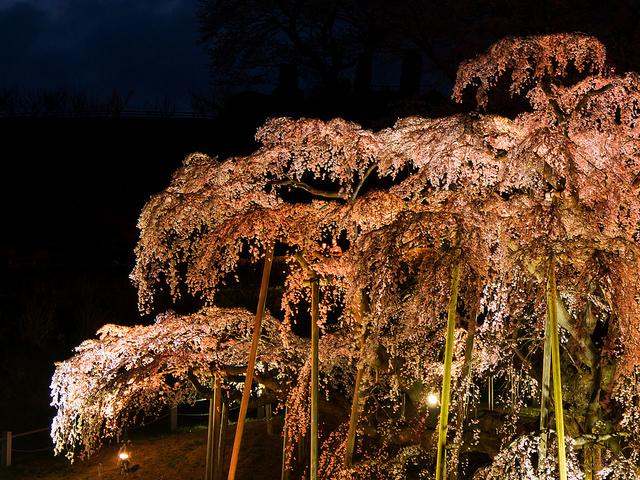 三春滝桜の夜桜
