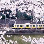 中央線と満開の桜