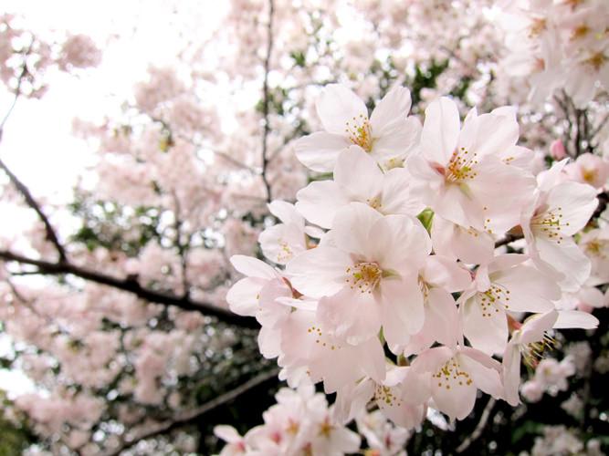 淡いピンク色の桜