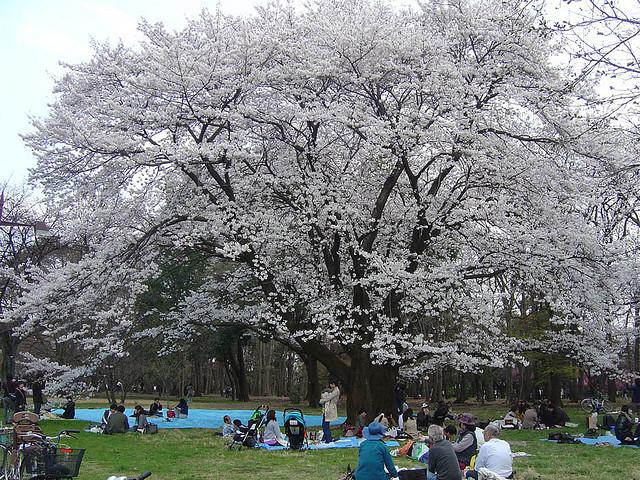小金井公園の花見