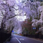 角館 武家屋敷街の桜