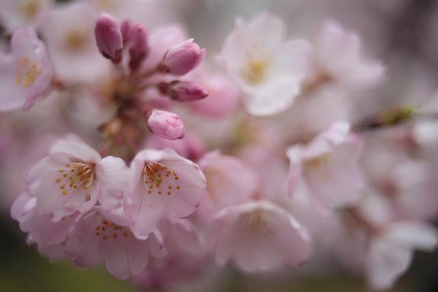 神代曙の花