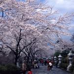 富士仏舎利塔平和公園の桜2