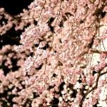 六義園の枝垂れ桜2