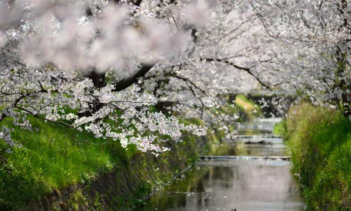 桜並木と水路