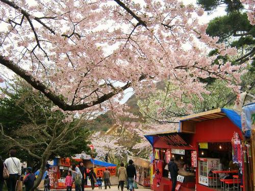 函館公園の桜と出店