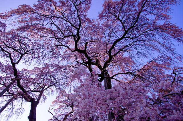 三春滝桜2