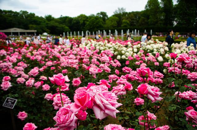 神代植物公園 春のバラフェスタ