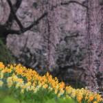 氏乗の枝垂れ桜3