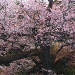 光厳寺の白山桜