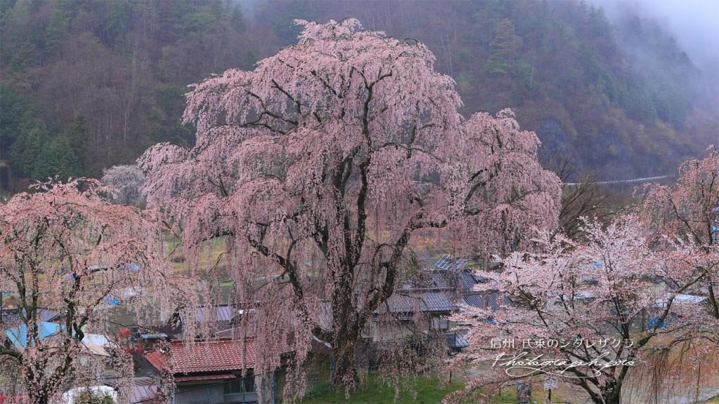氏乗の枝垂れ桜
