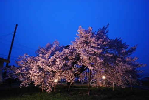 龍蔵桜のライトアップ