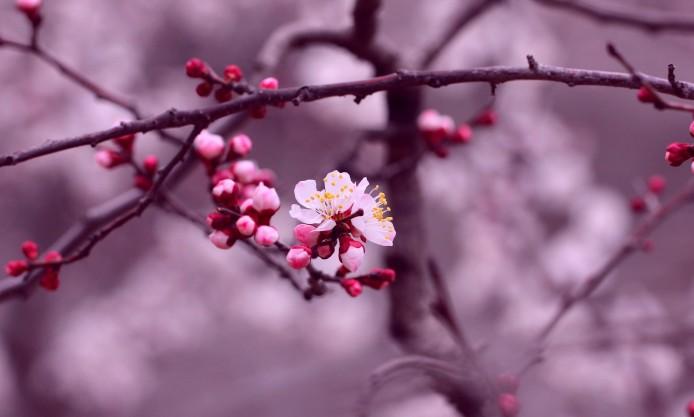 cherry-blossom-flowers-branch-petals-purple-pink
