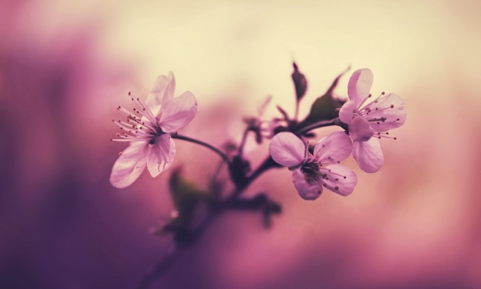 cherry-branch-flowers-petals-focus-pink-background-pink