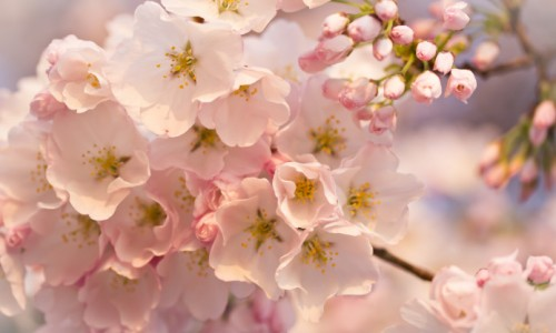 cherry-spring-flowers-branch-blur-pink