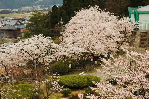 松岡公園の桜