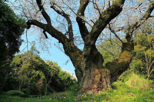 国内最長老のソメイヨシノ