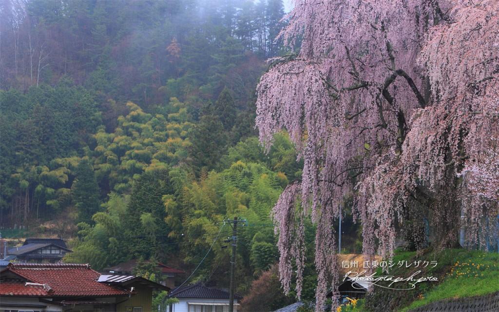氏乗の枝垂れ桜2