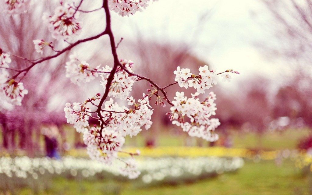flowers-bloom-cherry-spring-photo-blur-background-branch-wallpaper