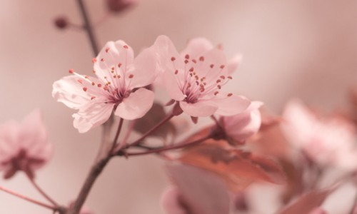 flowers-focus-cherry-sakura-