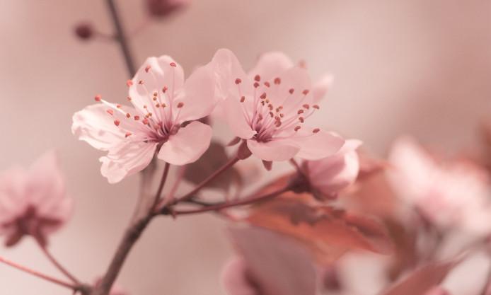 flowers-focus-cherry-sakura-