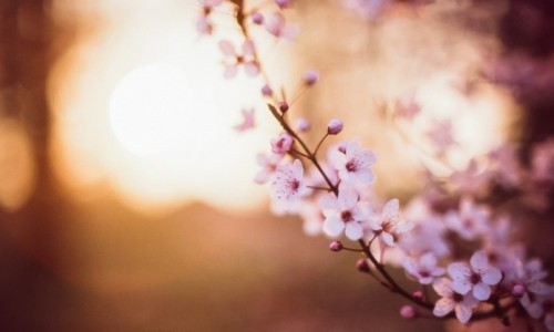 sakura-flowers-focus-cherry-motion-blur-bokeh