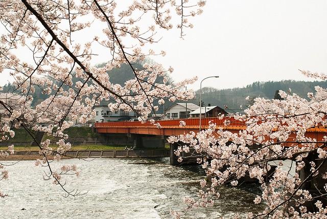 角館の桜橋