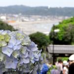 成就院の紫陽花