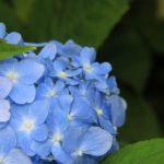梅雨に咲く人気の花、あじさい。色の秘密と人気の品種