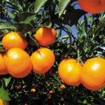 おいしいみかんの育て方!人気の品種は?家庭菜園のポイントをご紹介!
