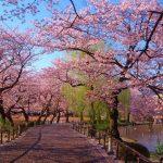 上野公園の桜、2015開花予想と見頃の時期は?花見で人気のポイント