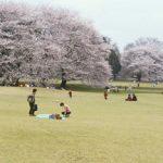砧公園の桜、2015年の開花と見頃の時期は?夜桜のライトアップはある?