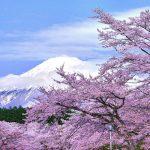 静岡県大石寺の桜の開花予想2015。見頃の時期は?