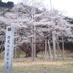 日本3大桜・根尾谷淡墨桜の開花予想2015!花見の見頃とライトアップは?
