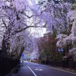 秋田県角館の桜の開花予想2015!駐車場はある?