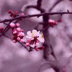 置賜さくら回廊の開花予想2015 !山形屈指の桜の名所でお花見を