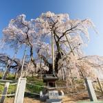 三春滝桜周辺の一本桜!弘法桜や天神桜など穴場スポット